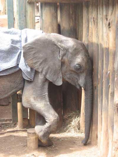 Kenze the elephant