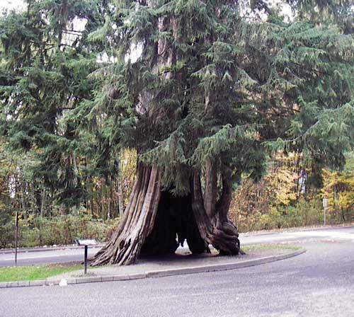 Hollow Tree 2005