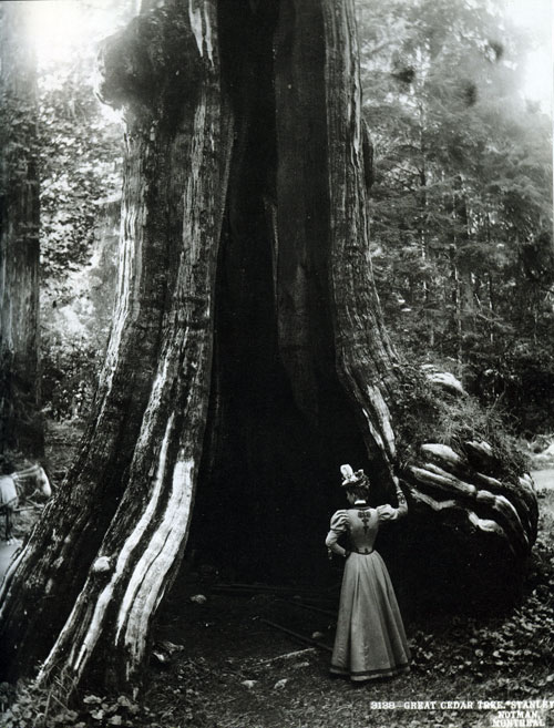 hollow tree stanley park 1897