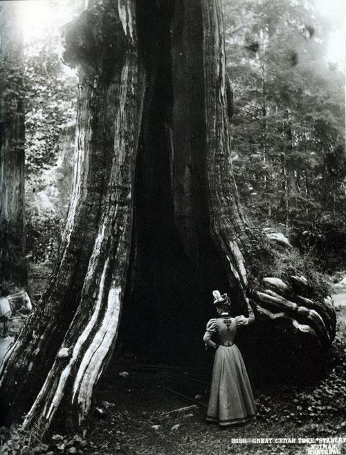 hollow tree stanley park 1897