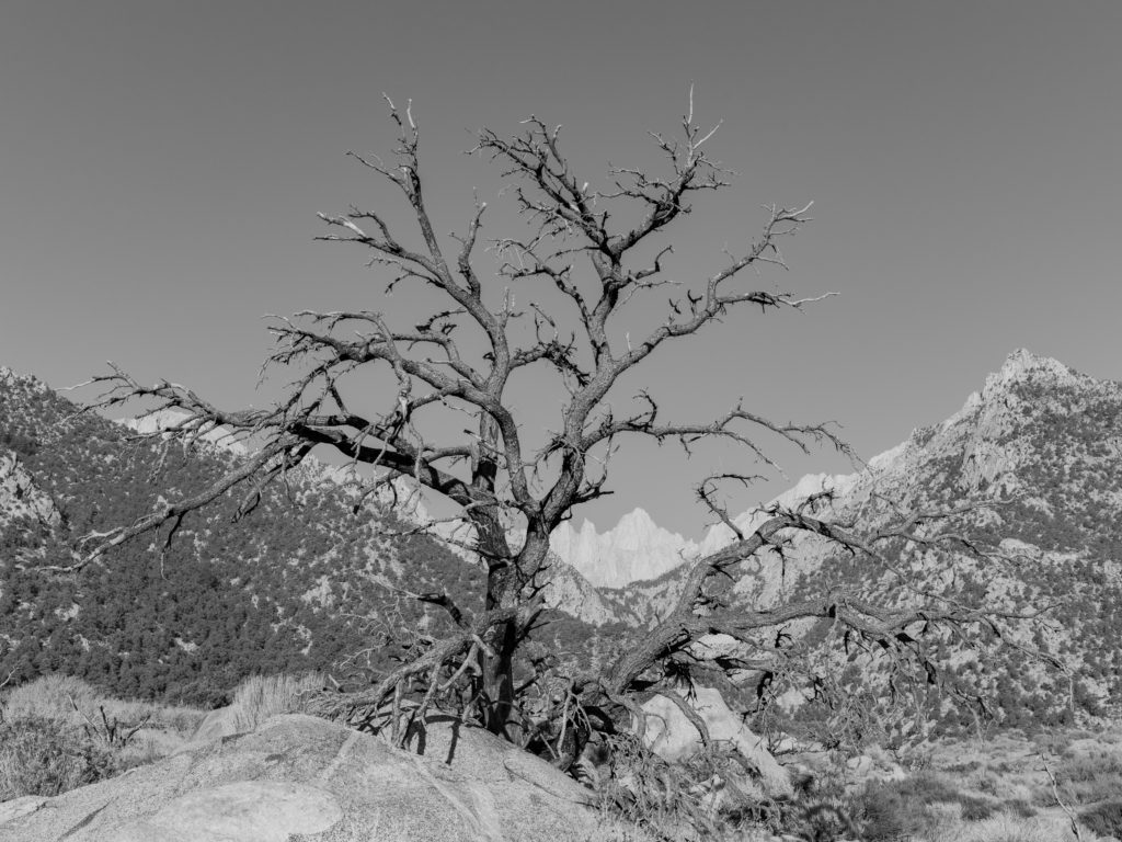 Tree At The Foot Of Mount Whitney