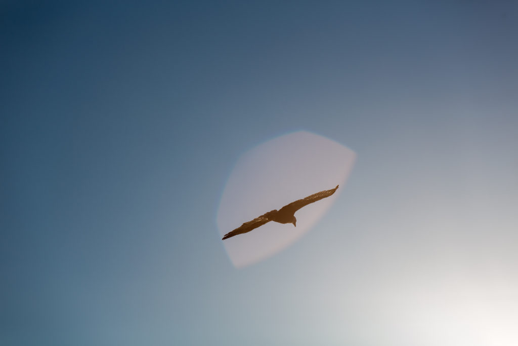 Bald Eagle And Lens Flare