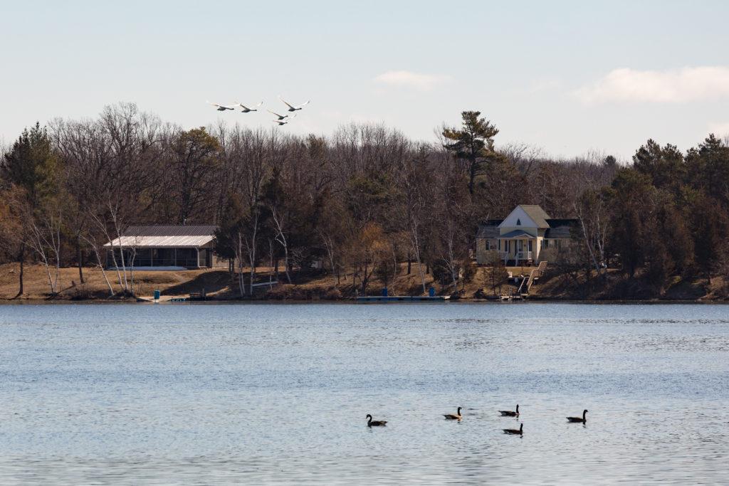 Swans Vs Geese