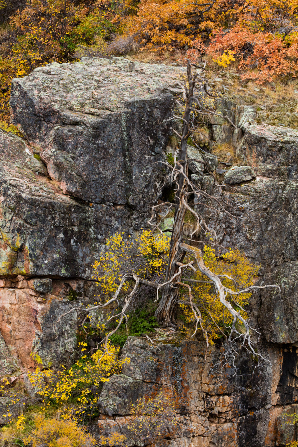 Dead Tree At Black Canyon Of The Gunnison National Park