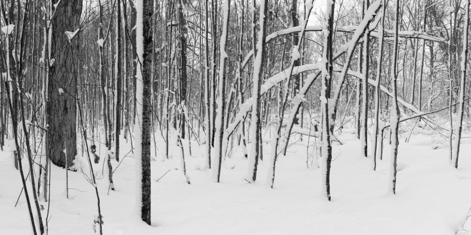 Bent Trees In The Snow