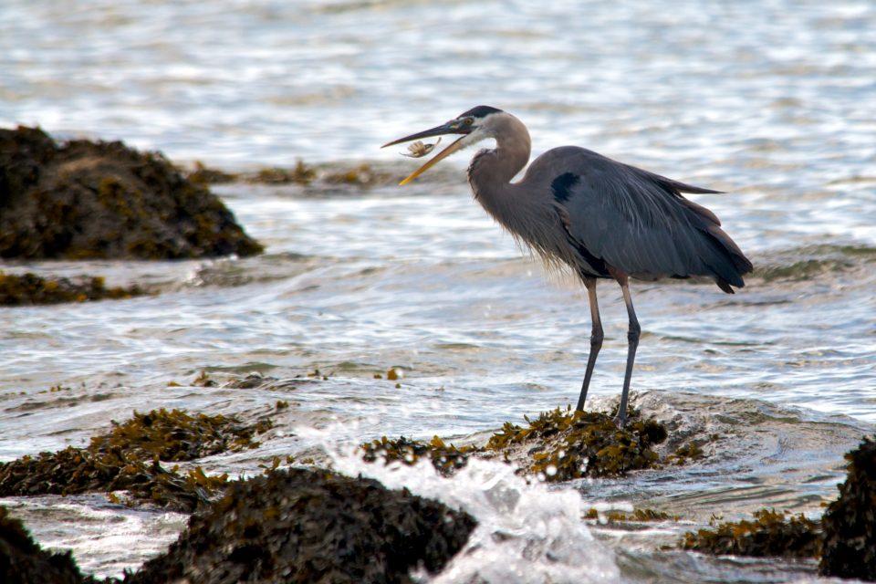 Heron Eating Fish