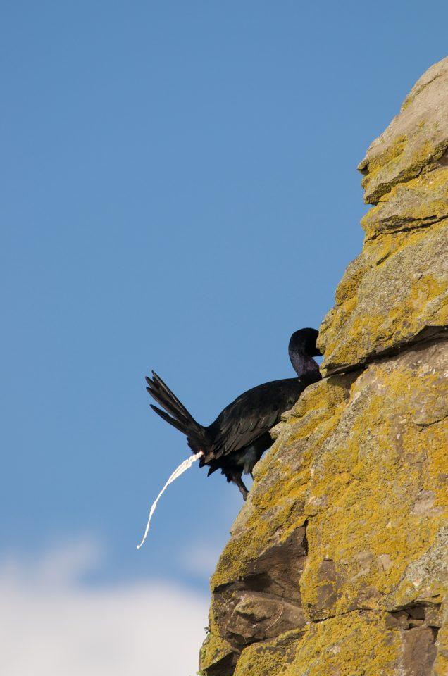 Cormorant Pooping!