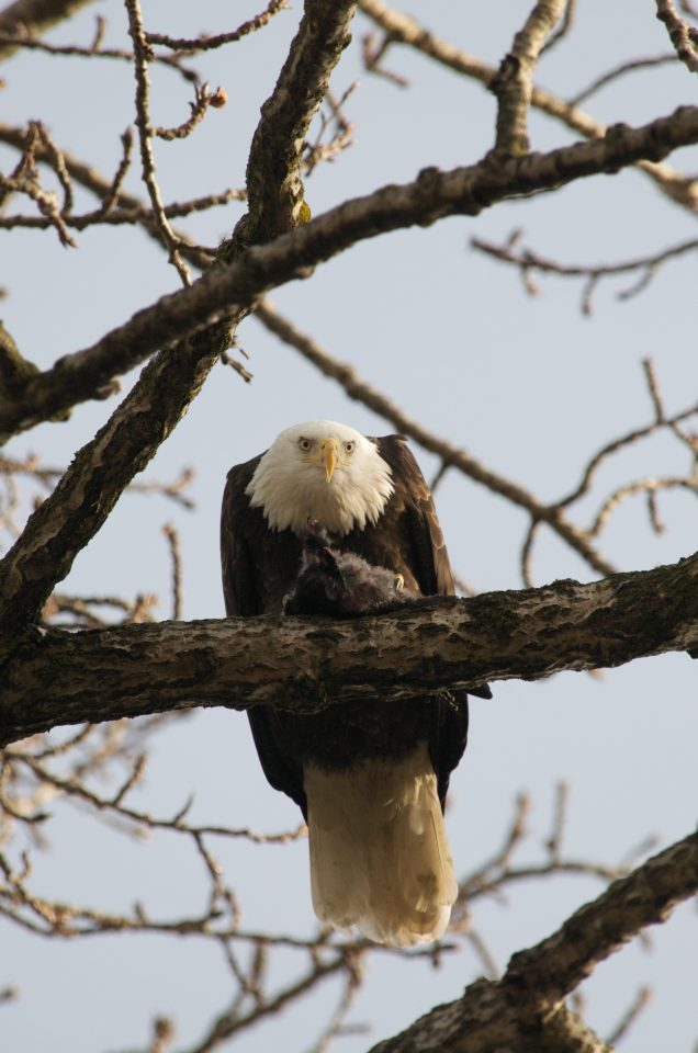 Bald Eagle Eating A Crow