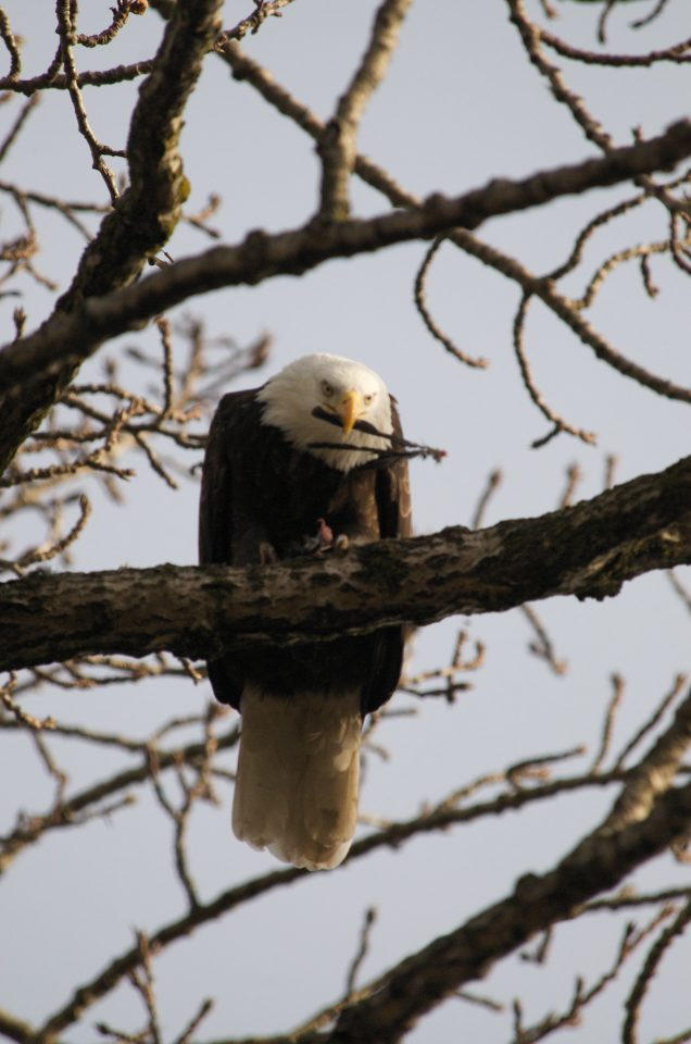 Bald Eagle Eating A Crow's Feathers