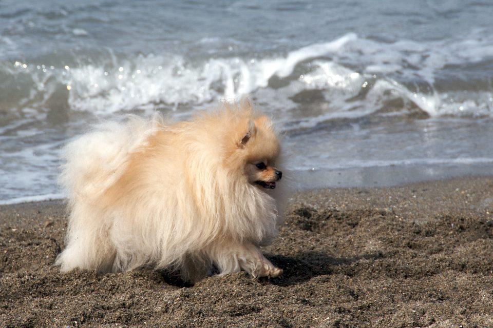 puffy dog