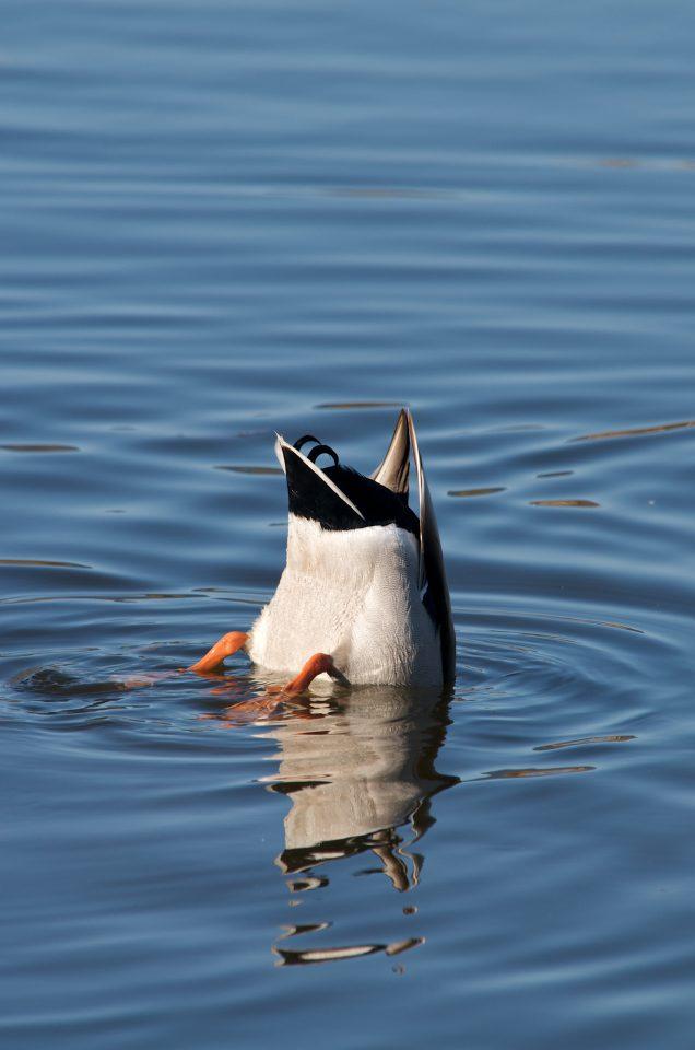Cute Duck Bum