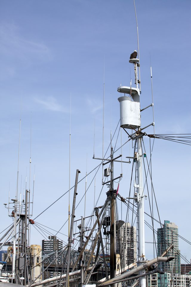 Bald Eagle atop a Mess of Masts and Cables