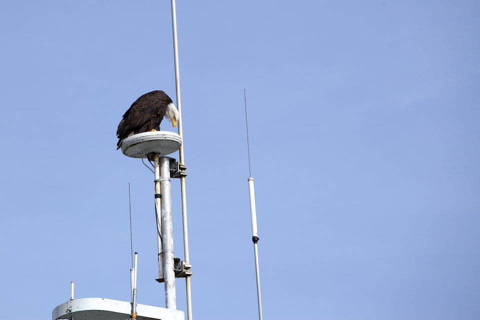 Bald Eagle Looking Down