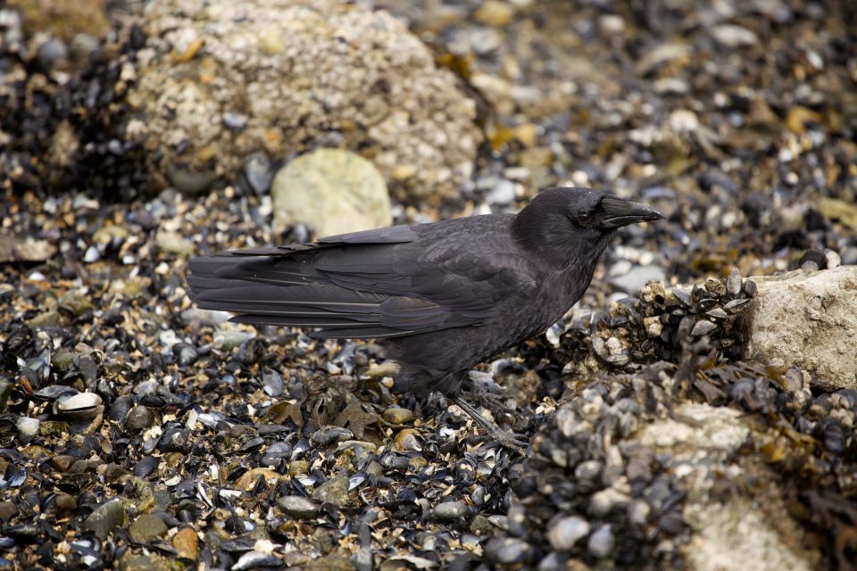 Filthy Crow Feasts at Low Tide