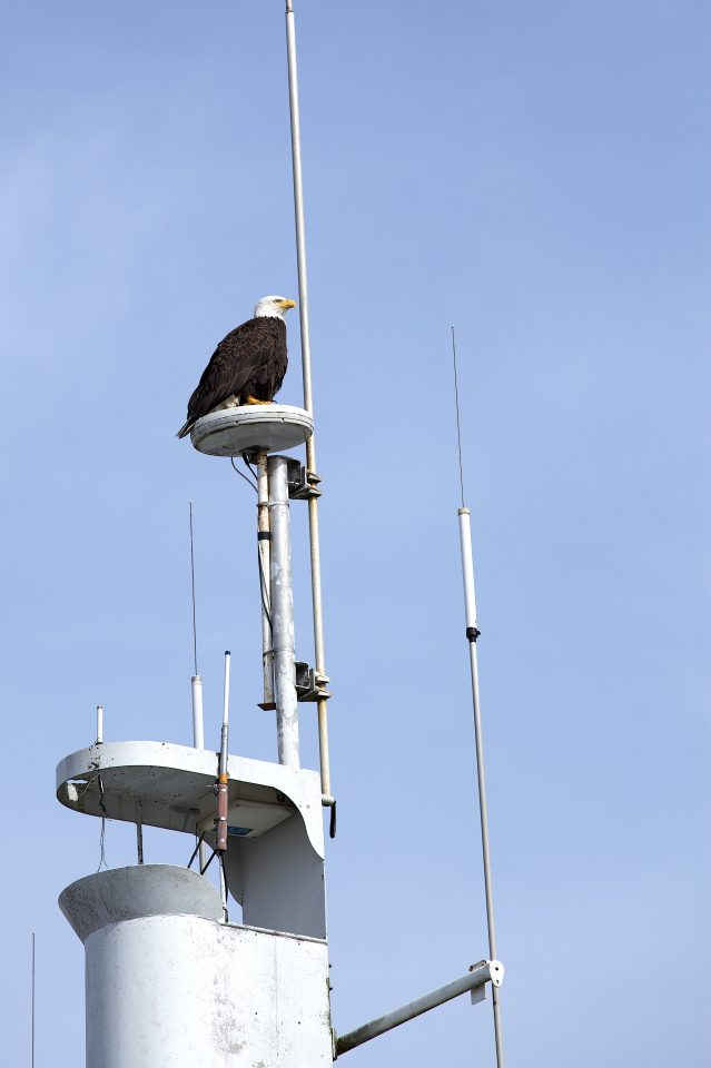 Bald Eagle and Antennae
