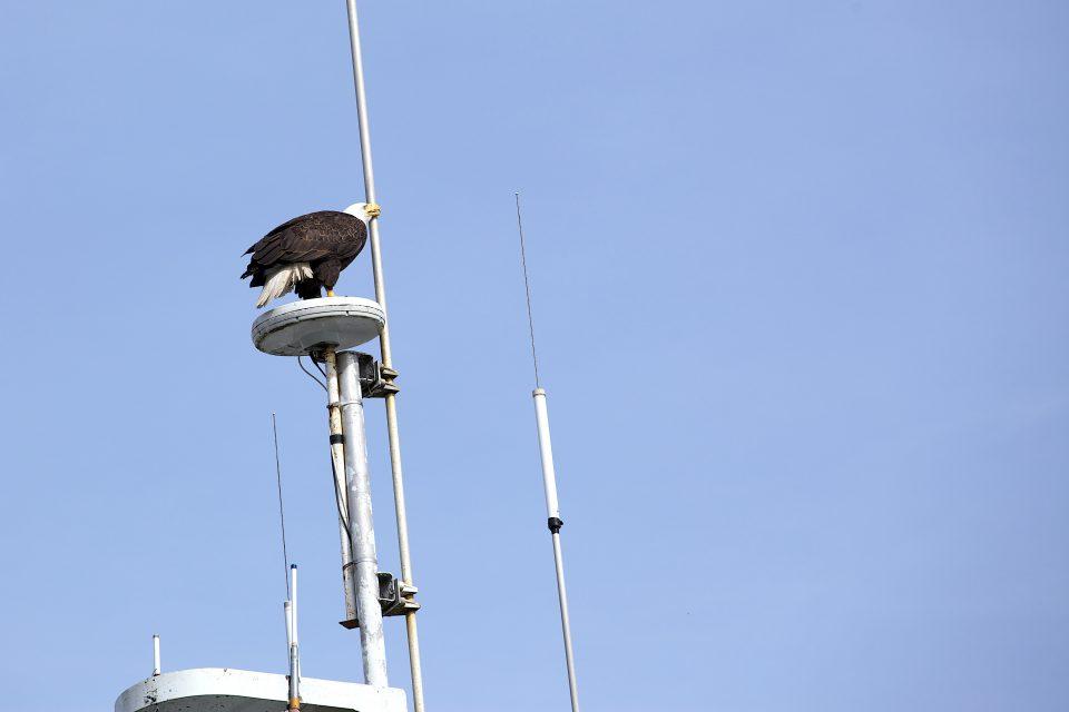 Bald Eagle Cleaning Beak