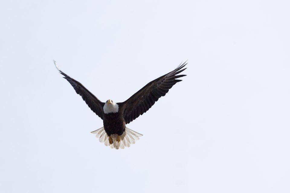 Bald Eagle Mid Flight