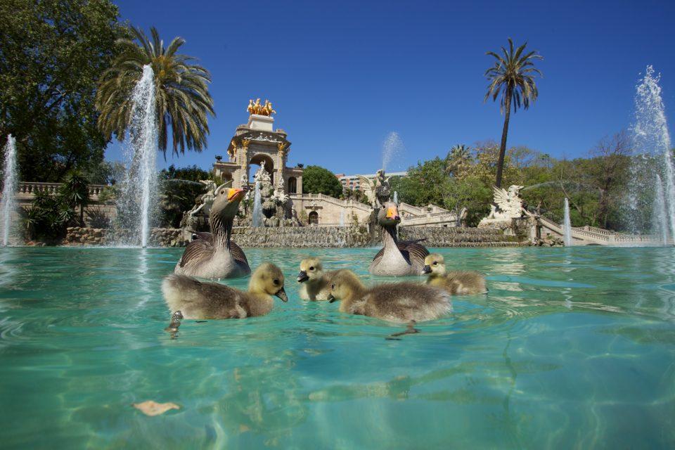 Goslings at Parc de la Ciutadella
