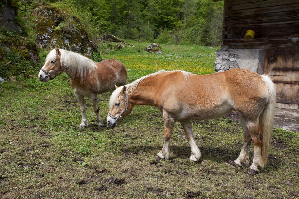 Horses Lauterbrunnen