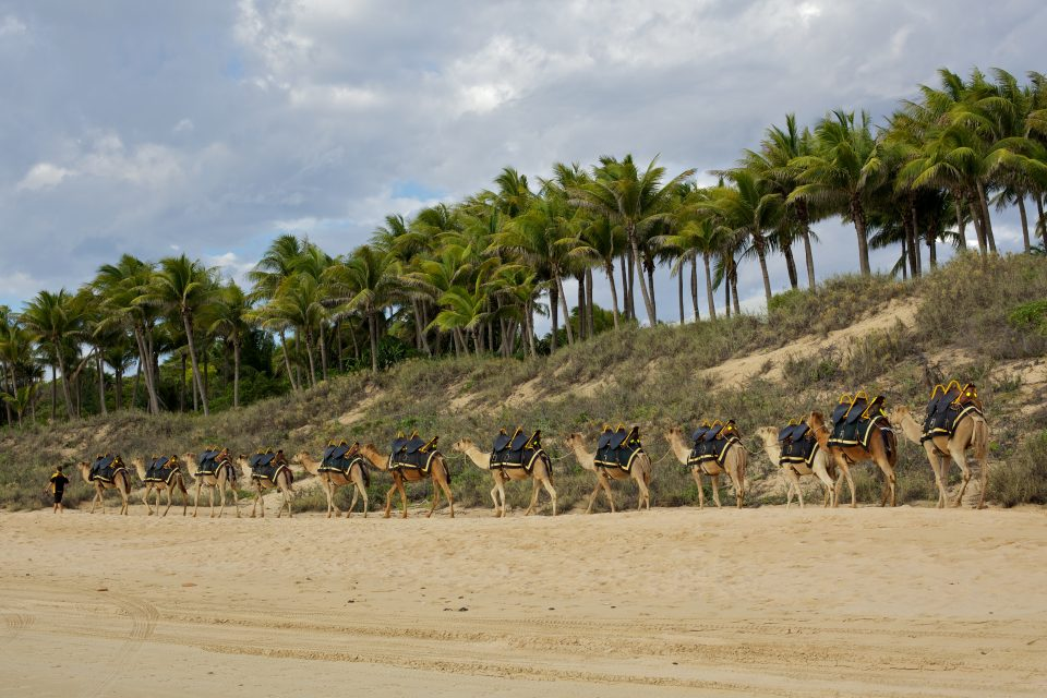 Camels On The Beach In Broome Australia