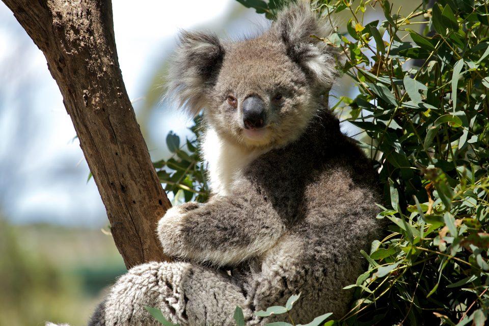 Koala, Tasmania Australia