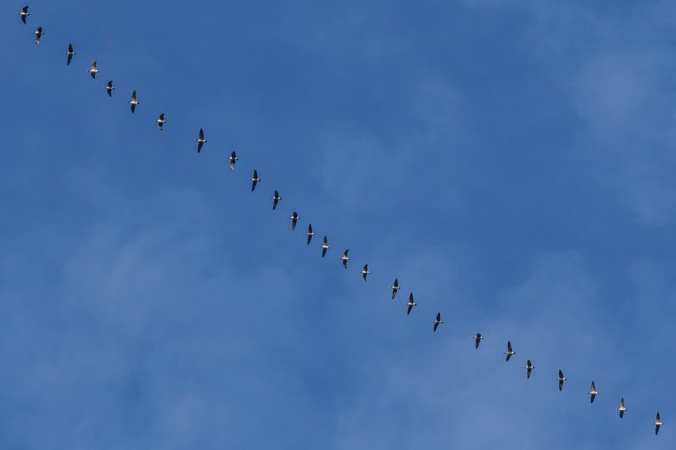Geese Flying In A Line