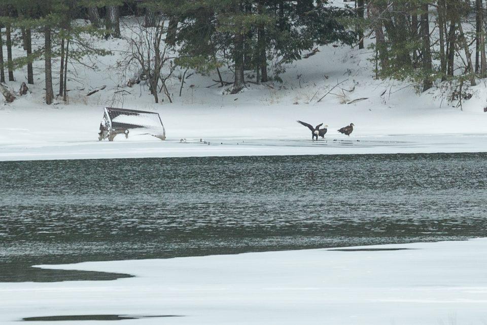 3 eagles across river