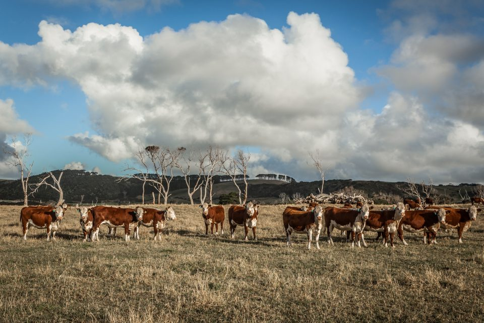 Cows at Green Point Tasmania