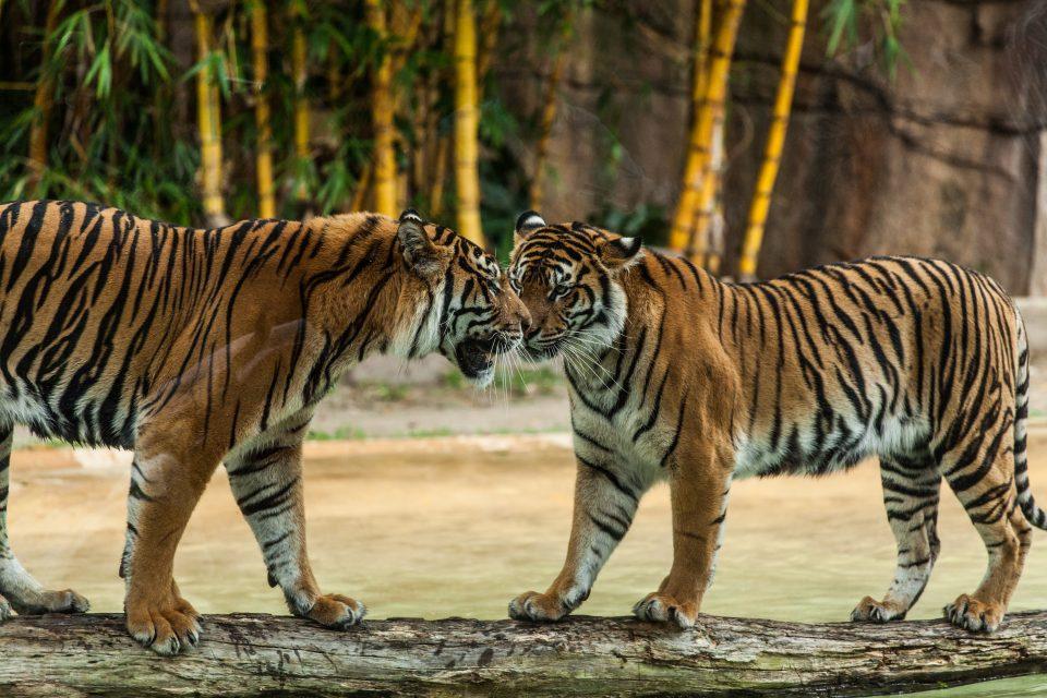 Australia Zoo Tigers