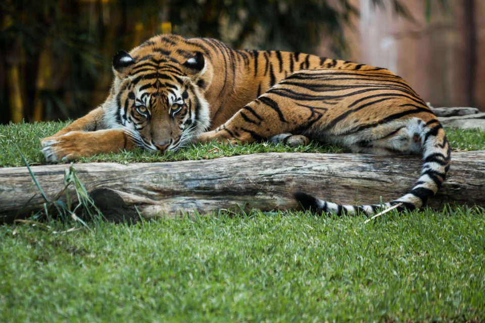 Tiger Relaxing At Australia Zoo