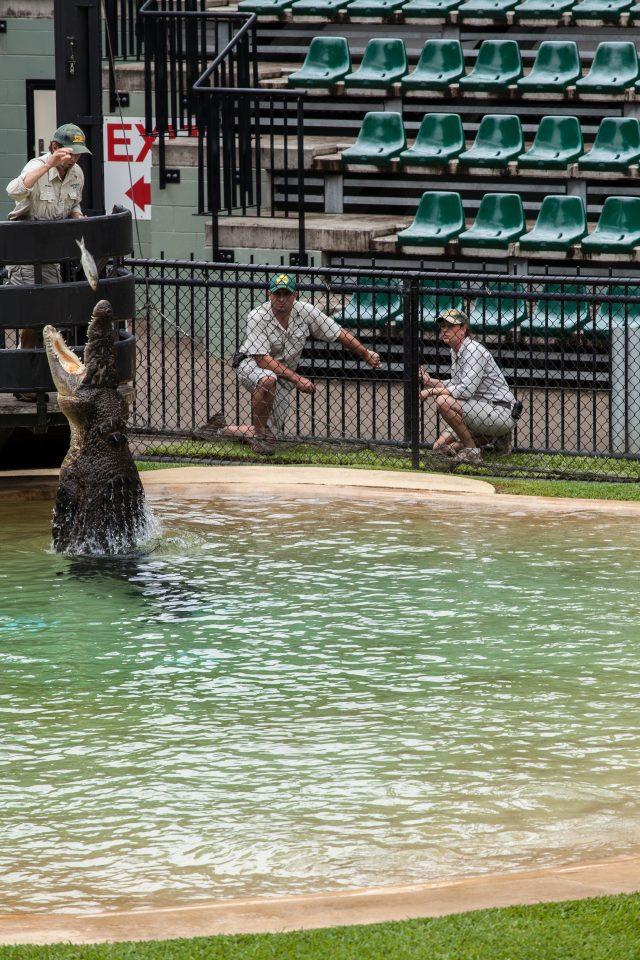 Crocodile Feeding Australia Zoo