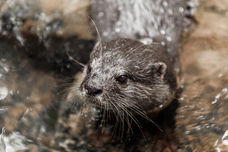 River Otter Australia Zoo