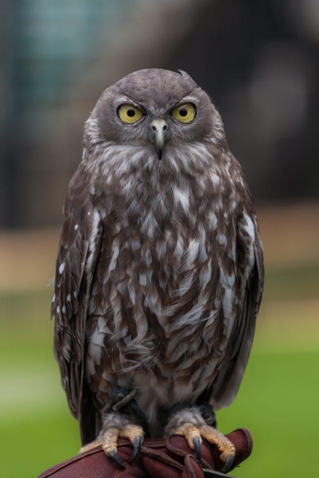 Barking Owl Australia Zoo