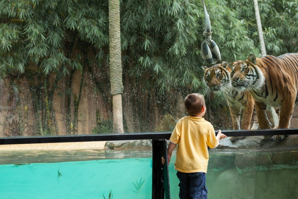 Child and Tiger Australia Zoo