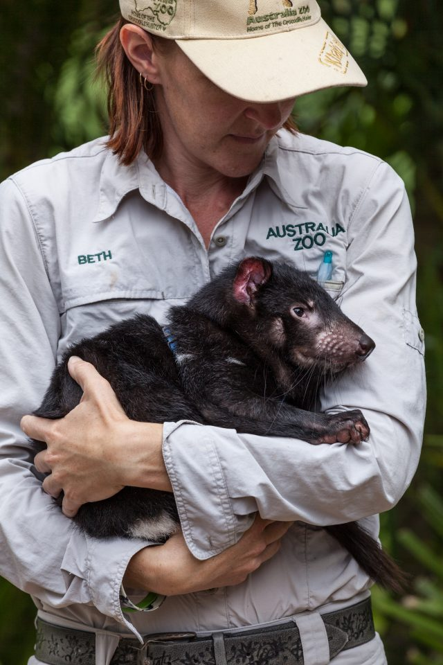 Tasmania Devil Australia Zoo
