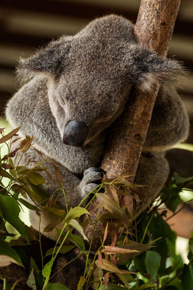 Sleeping Koala Australia Zoo