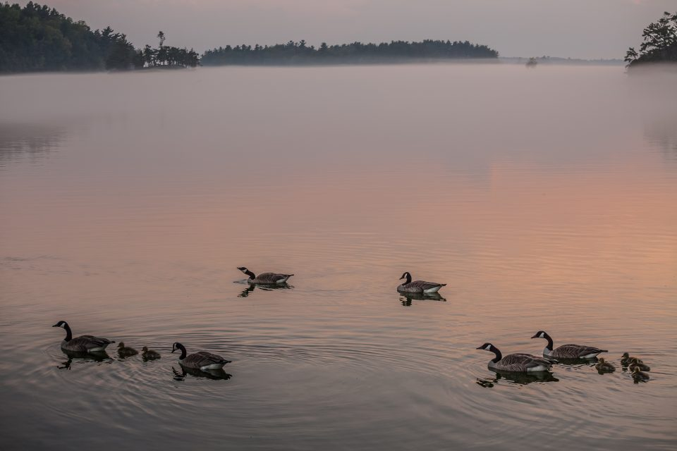 Geese Swimming At Dusk